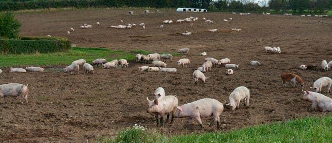 free_range_pigs_grazing