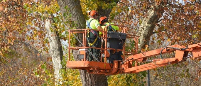Tree surgeons working at height with mobile elevated working platform