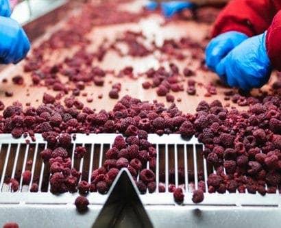 Frozen raspberries on production line