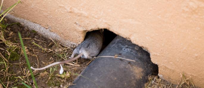 Rats in a Restaurant | Pest Control Procedure & Advice
