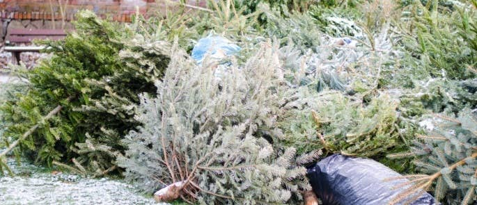 Used Christmas trees piled together with a couple of bin bags
