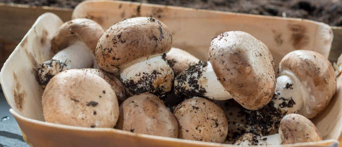 Mushrooms with soil on them